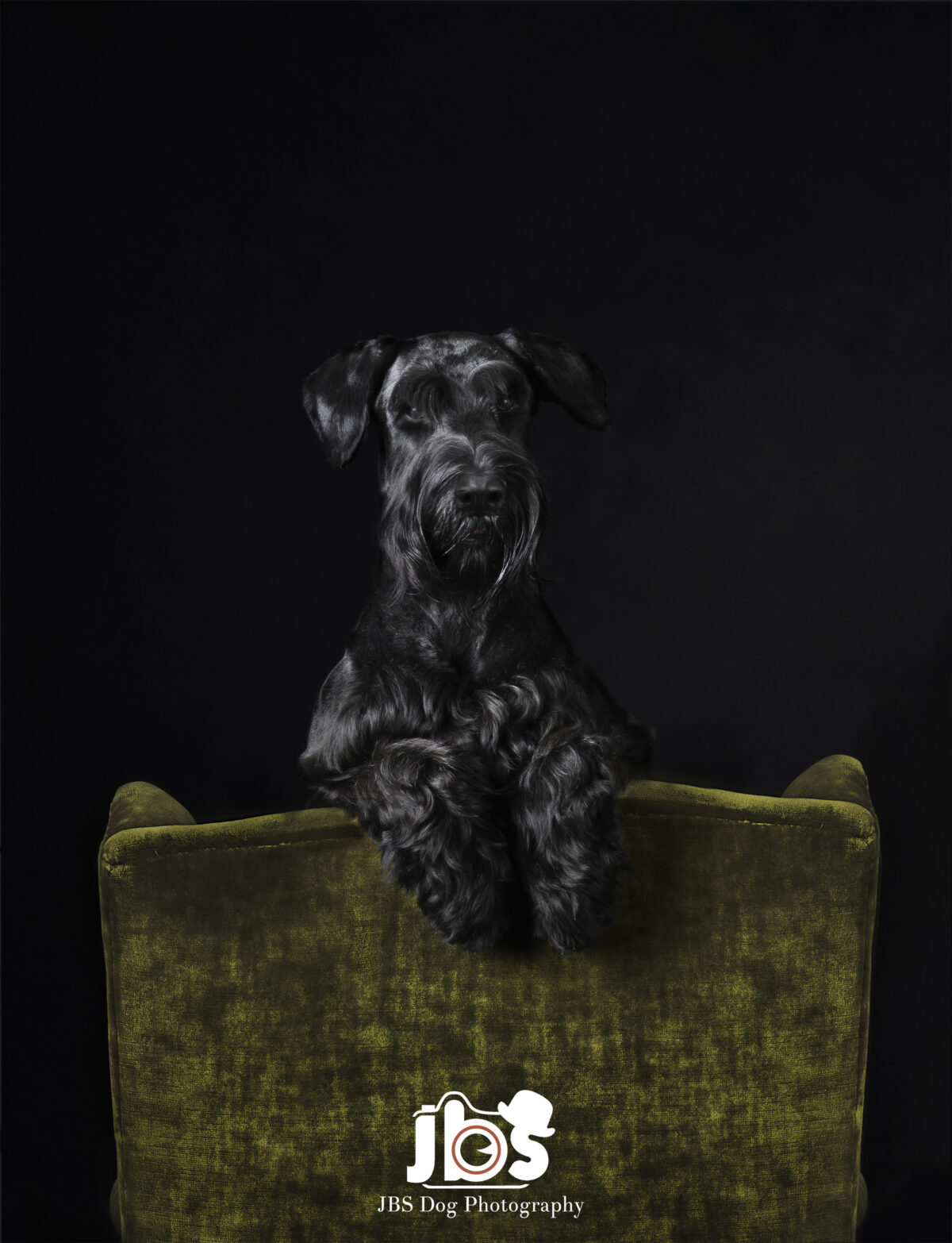 Giant Schnauzer looking over the back of a chair