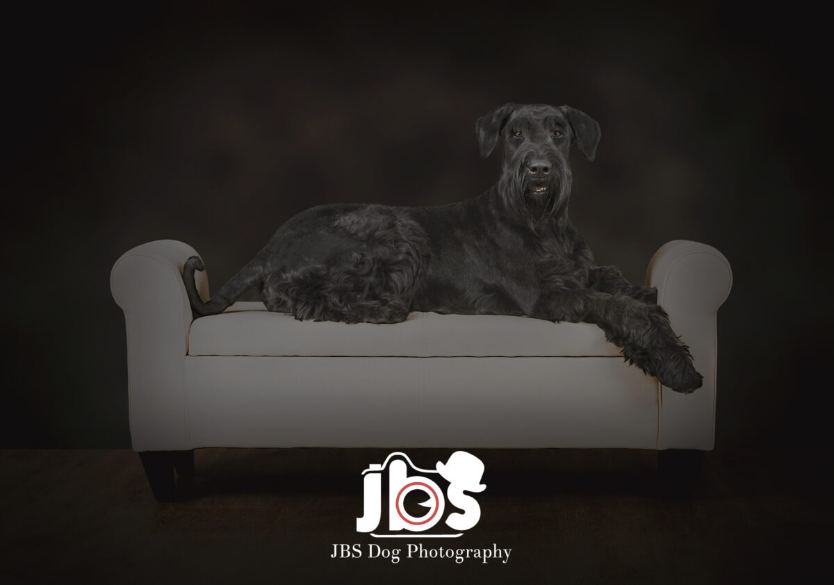 Giant Schnauzer laying on a cream couch