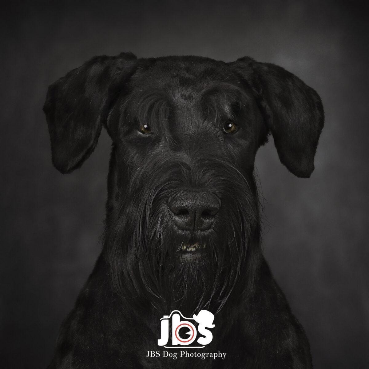 Giant Schnauzer Dog Photography - JBS Dog Photography | JBS Dog Photography