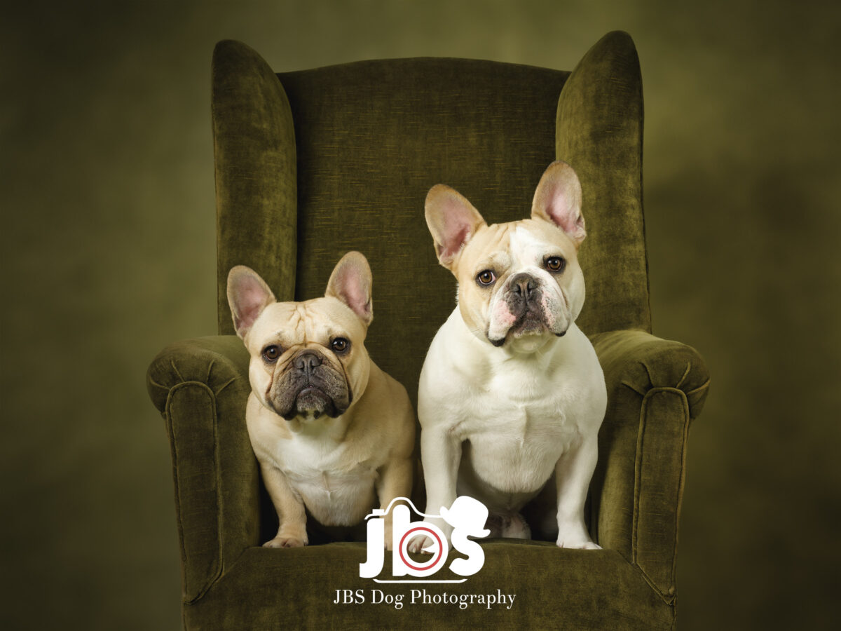 Two French Bulldogs Sitting in a chair