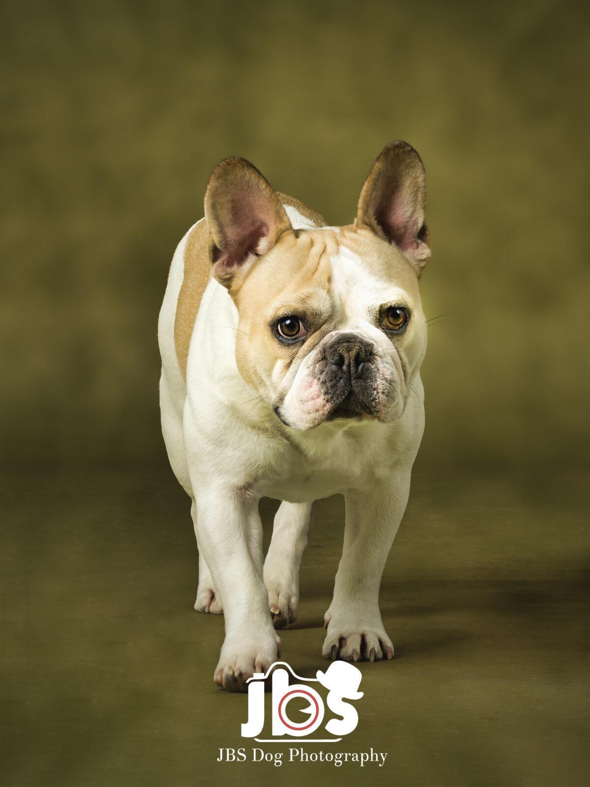 French Bulldog Walking