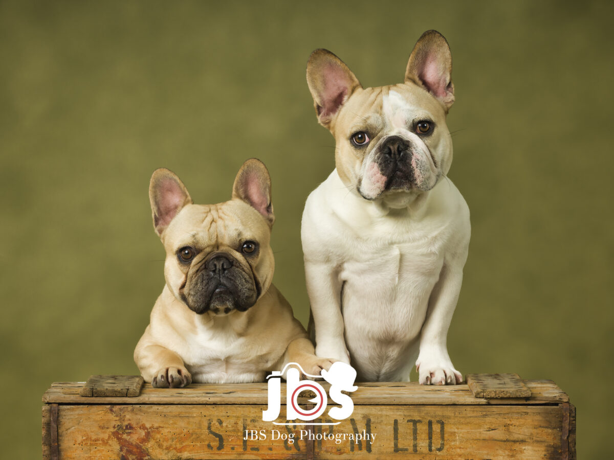 Two French Bulldogs standing on a box