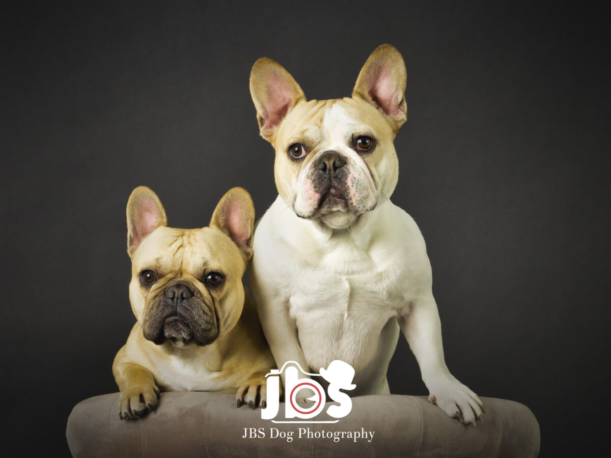 Two French Bulldogs looking over the back of a chair