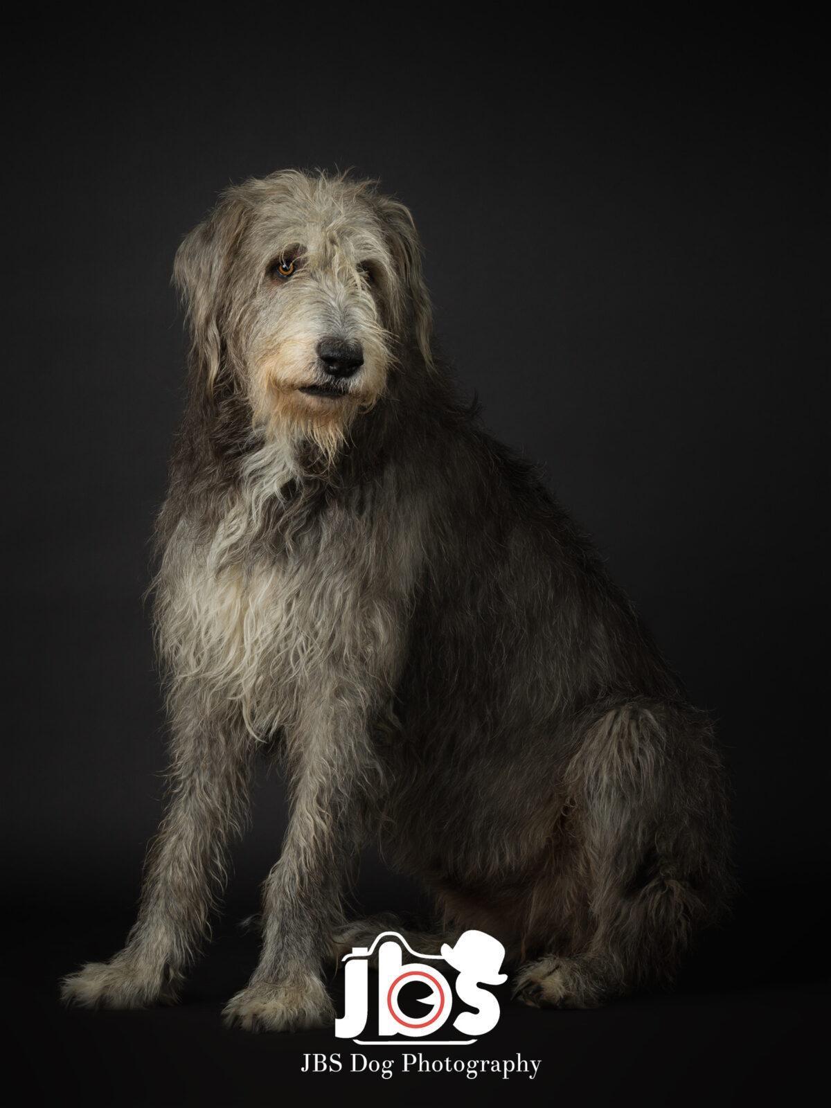 Irish Wolfhound Sitting Down