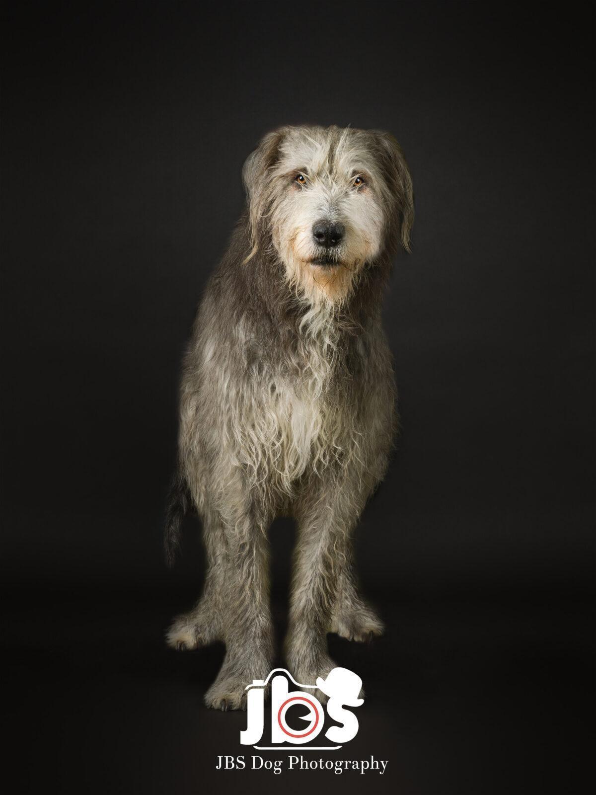 Irish Wolfhound Standing up